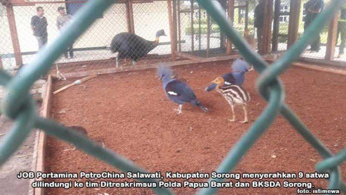 Polda-BKSDA Amankan 9 Satwa Peliharaan Petrochina Salawati