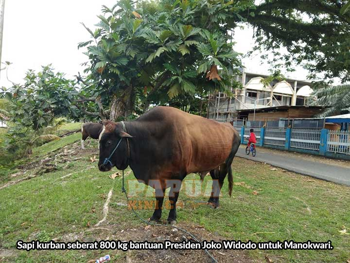 Pemprov Papua Barat Sumbang 27 Sapi Kurban, PKK Turut Bantu