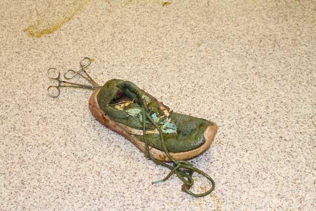 Telan Sepatu, Buaya Ini Dibedah