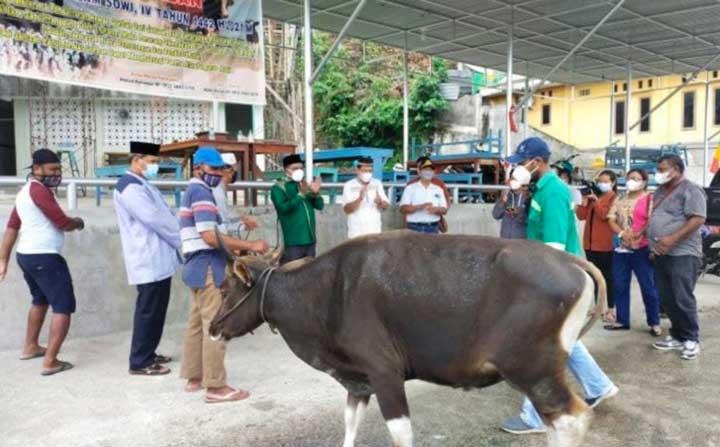 Bupati Manokwari Salurkan 87 Sapi Kurban Idul Adha